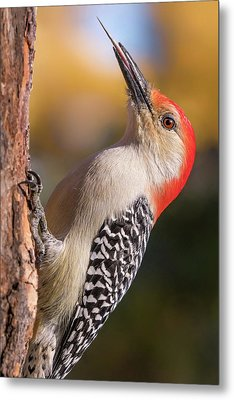 Metal Print featuring the photograph Red Bellied Woodpecker's Toolkit by Jim Hughes