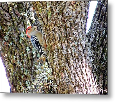 Metal Print featuring the photograph Red-bellied Woodpecker By Bill Holkham by Bill Holkham
