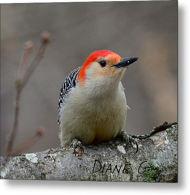 Red-bellied Woodpecker Metal Print by Diane Giurco
