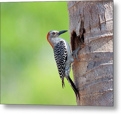 Red-bellied Woodpecker Metal Print by Guillermo Armenteros, Dominican Republic.