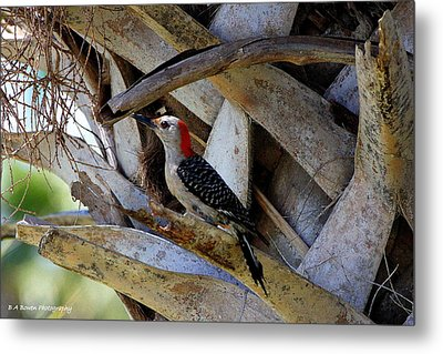 Metal Print featuring the photograph Red-bellied Woodpecker Hides On A Cabbage Palm by Barbara Bowen