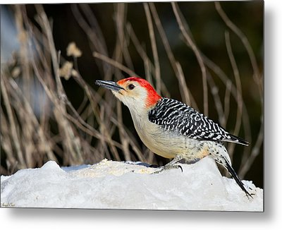 Red-bellied Woodpecker In The Snow Metal Print by Angel Cher
