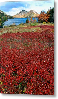 Red Berry Bushes At Jordan Pond Metal Print by George Oze
