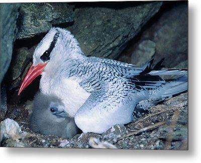 Red-billed Tropicbirds Cuddling  Metal Print