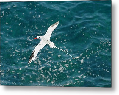 Red Billied Tropic Bird Metal Print by Alan Lenk