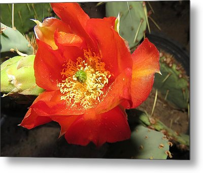 Red Bloom 1 - Prickly Pear Cactus Metal Print