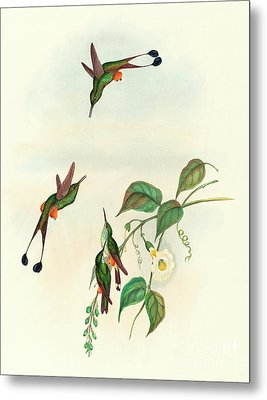 Red Booted Racket Tail Metal Print by John Gould