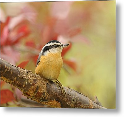 Red Breasted Nuthatch  Metal Print