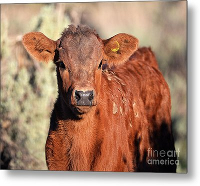 Red Calf Metal Print