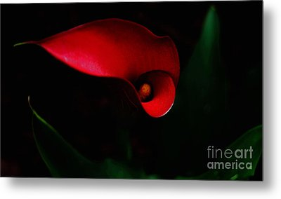 Red Calla Lilly Metal Print