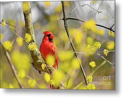 Red Cardinal Among Spring Flowers Metal Print by Charline Xia