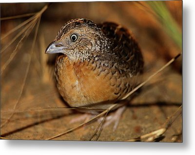 Red-chested Button-quail Metal Print