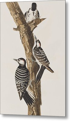 Red-cockaded Woodpecker Metal Print
