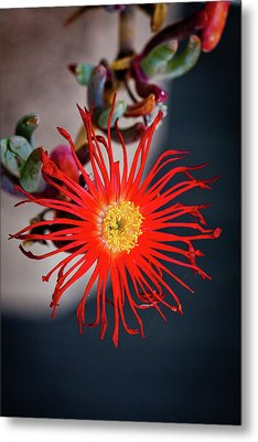 Red Crab Flower Metal Print by Bruno Spagnolo