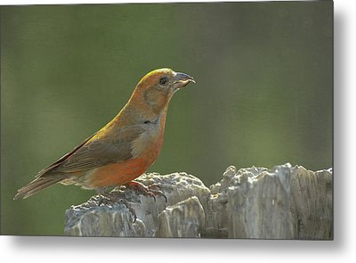 Red Crossbill Metal Print by Constance Puttkemery