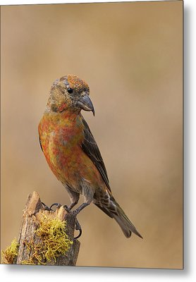 Red Crossbill Metal Print by Doug Herr