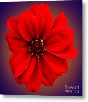 Metal Print featuring the photograph Red Dahlia-bishop-of-llandaff by Brian Roscorla