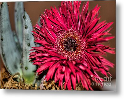 Metal Print featuring the photograph Red Daisy And The Cactus by Diana Mary Sharpton