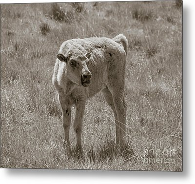 Metal Print featuring the photograph Red Dog Buffalo Calf by Rebecca Margraf