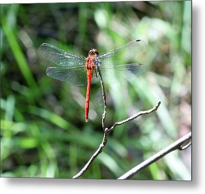 Metal Print featuring the photograph Red Dragonfly by Karen Silvestri