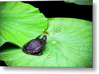 Red-eared Slider Metal Print