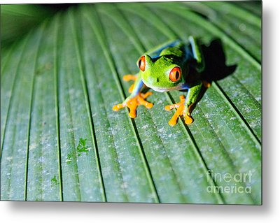 Red Eyed Frog Close Up Metal Print by Matteo Colombo