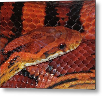 Red Eyed Snake Metal Print by Patricia McNaught Foster