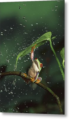 Red-eyed Tree Frog In The Rain Metal Print by Michael Durham