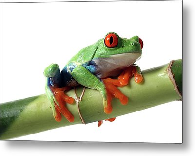 Red-eyed Tree Frog Metal Print by Mlorenzphotography