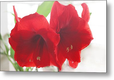 Metal Print featuring the photograph Amaryllis by Rebecca Harman