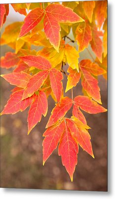 Red Foliage On Farmland In Vermont Metal Print by American School