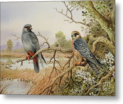Red-footed Falcons Metal Print