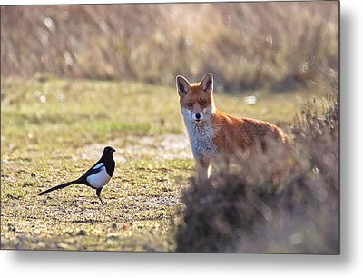 Red Fox And Magpie Metal Print