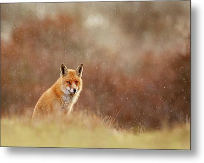Red Fox In A Snow Shower Metal Print