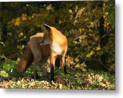 Metal Print featuring the photograph Red Fox In Shadows by Doris Potter