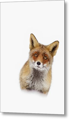 Red Fox In The Snow Portrait Metal Print