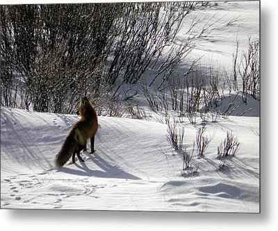 Metal Print featuring the photograph Red Fox  by Meagan  Visser