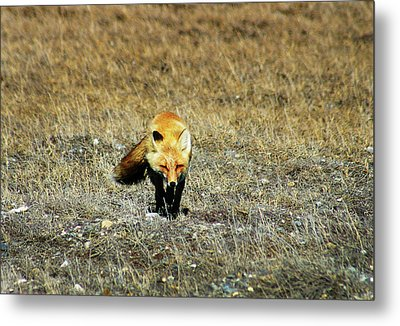 Metal Print featuring the photograph Red Fox On The Tundra by Anthony Jones