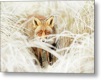 Red Fox Out Of The White Metal Print by Roeselien Raimond