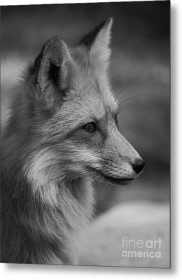 Red Fox Portrait In Black And White Metal Print