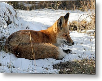 Red Fox Sleeping In The Snow Metal Print by Pierre Leclerc Photography