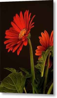 Red Gerbera Daisy 1 Metal Print by Richard Rizzo