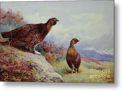 Red Grouse On The Moor, 1917 Metal Print by Archibald Thorburn