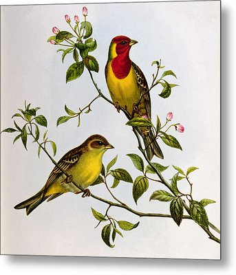 Red Headed Bunting Metal Print by John Gould