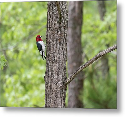 Red-headed Woodpecker 2017-1 Metal Print by Thomas Young
