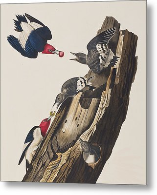 Red Headed Woodpecker Metal Print by John James Audubon