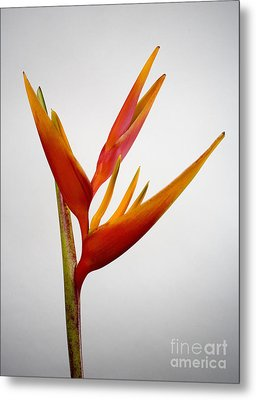 Red Heliconia Metal Print by Tomas del Amo - Printscapes
