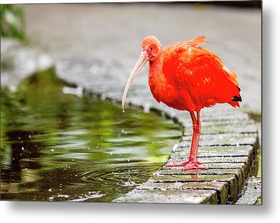 Metal Print featuring the photograph Red Ibis by Alexey Stiop