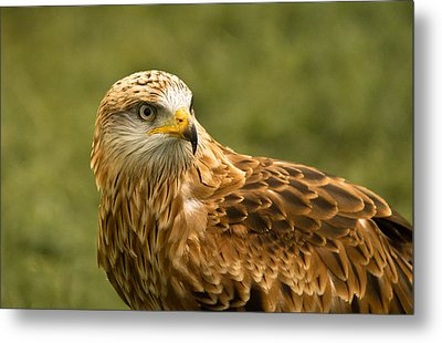 Metal Print featuring the photograph Red Kite by Scott Carruthers
