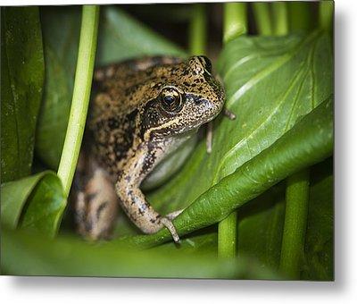 Red-legged Frog  On Plant Metal Print by Robert Potts